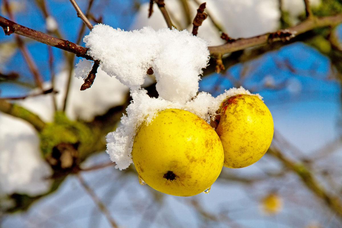 Styczeń w sadzie – jak zadbać o drzewka owocowe?